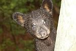 Tennessee Bear cub