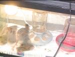 guinea incubator