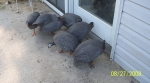 Guineas at the door.