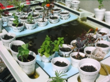 Failed Aquaponics. Yuck!